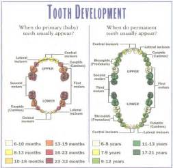 ages when baby teeth come in and fall out baby facts about baby teeth
