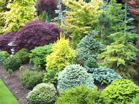dwarf evergreen evergreen shrubs zone 7 beautiful dwarf