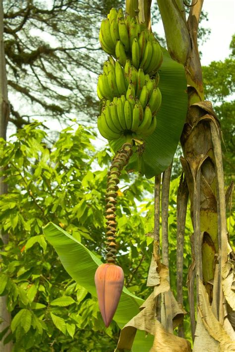Fruit Trees You Can Grow Indoors - top 25 ideas about plants of jamaica fruit trees on pinterest next day backyards and plants