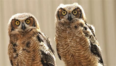 trio of owls ready to take first free flight shelby