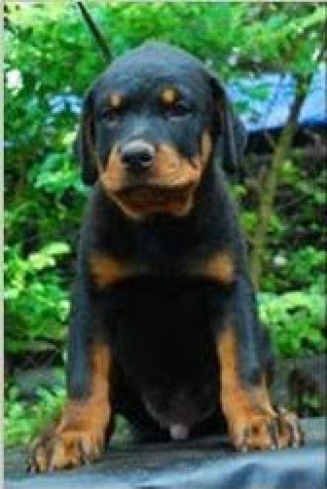 rottweiler for free adoption kannur poopy rottweiler dogs in kannur manuraj kr 3622 dogspot