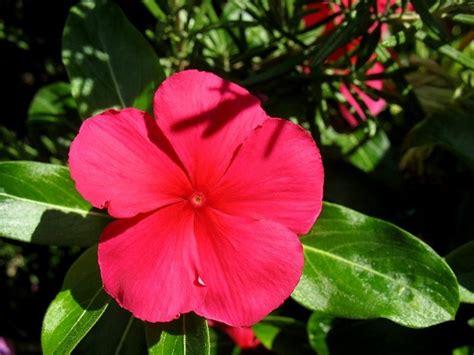 fiore pervinca pervinca fiore piante annuali fiore della pervinca