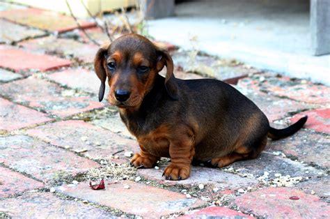 Dachshund Puppies Dogs Miniature Dachshund