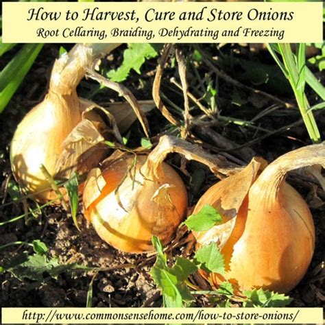 How To Store Onions From The Garden by How To Harvest Cure And Store Onions Root Cellaring