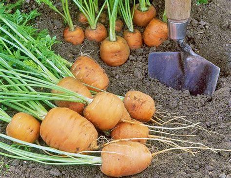 fall vegetable garden 15 best vegetables to grow quiet corner