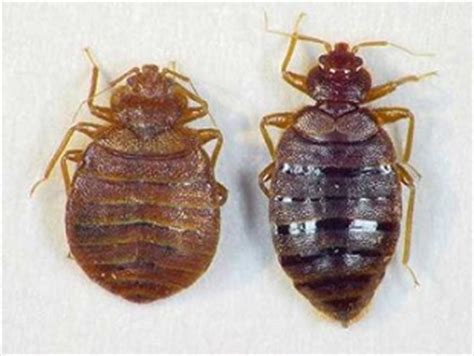 do bed bugs have antennas what does a bed bug look like and where do i find them yes pest pros inc