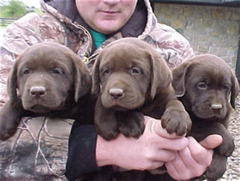 lab puppies oregon chocolate lab puppies for sale in oregon