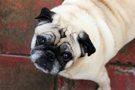 html to pug pugs breeds picture