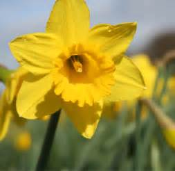The Flower Daffodil - hoogasian flowers march birth month flower is daffodil