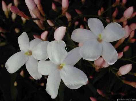 imagenes flores jazmin fotos de flores jazmines