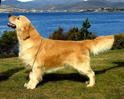 giltedge golden retrievers ch giltedge blackwatch owned by handley