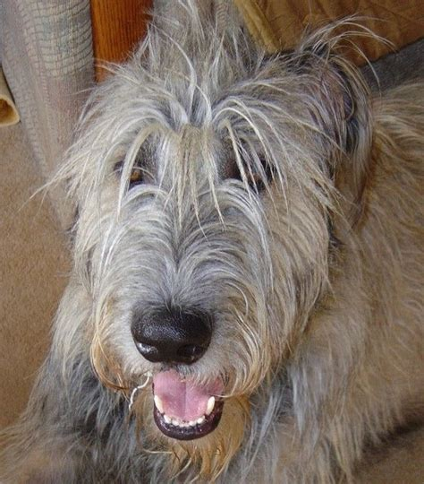 dogs 2 hold my hair 1222 best dogs images on doggies wolfhounds and wolfhound