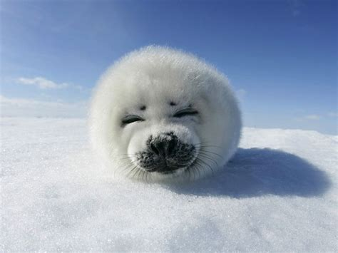 white seal pup white seal pup smiling stuff