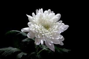 Chrysanthemum flowers organic buy online from maison terre