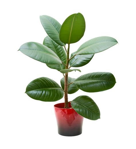 repotting a rubber plant learn when and how to repot