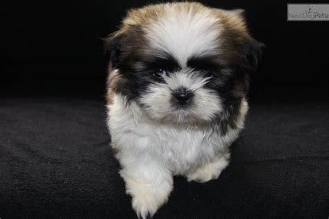 shih tzu puppies for sale near me shih tzu puppy for sale near lancaster pennsylvania 91a414c1 6701