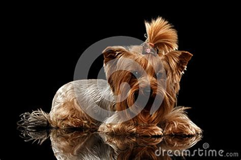 black mirror yorkie closeup yorkshire terrier dog lying on black mirror stock