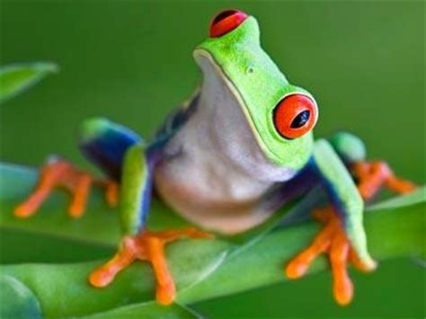 red eyed tree frog jigsaw puzzle coolmath games com