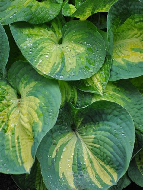 shade gardening how to use hostas to best advantage hometalk