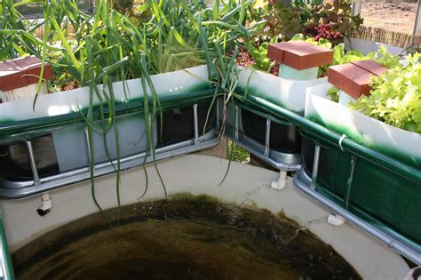backyard tilapia aquaponics backyard aquaponics garden center save planet earth