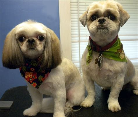 we shih tzu not 1 give special attention to their hair shih tzu do not fur instead they