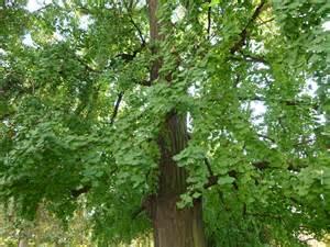 file tree gingko biloba jpg wikimedia commons