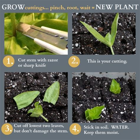 how to grow cuttings pinch for bigger blooms root for more plants
