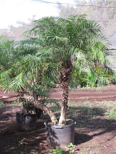 palma pianta da giardino oltre 25 fantastiche idee su piante in vaso su