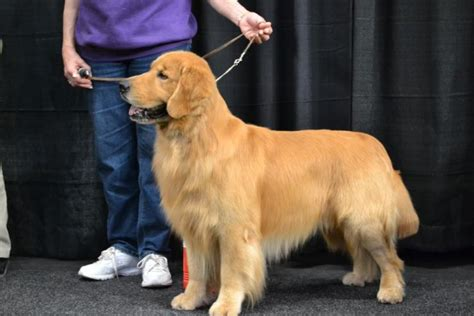 golden retriever westminster westminster show 2012 best of golden retrievers great danes boxers more from