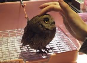 the owl caf 233 in tokyo where customers can pet the wild
