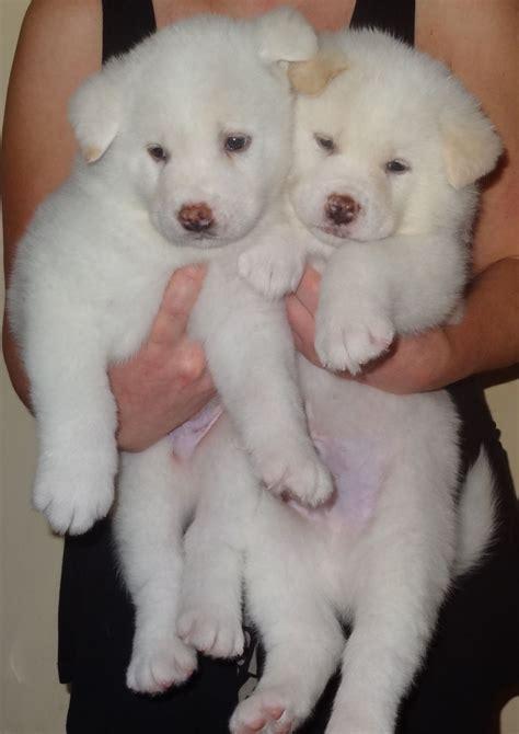 japanese akita puppies white pedigree japanese akita puppies chessington surrey pets4homes