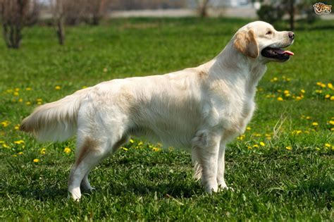 are there different types of golden retrievers progressive retinal atrophy gr pra1 testing for the golden retriever pets4homes