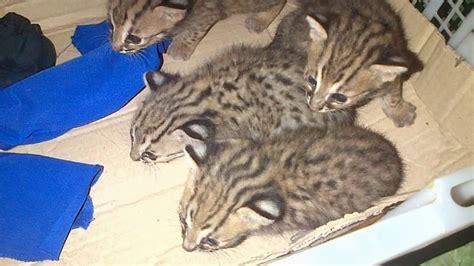 Sepasang Baby Blacan Kucing Hutan jual blacan kucing hutan macan rembah 300k