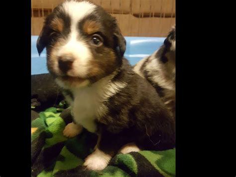 puppies for sale wisconsin akc puppies for sale in wisconsin akc marketplace