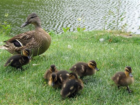 duck pictures duck with ducklings free stock photo domain pictures
