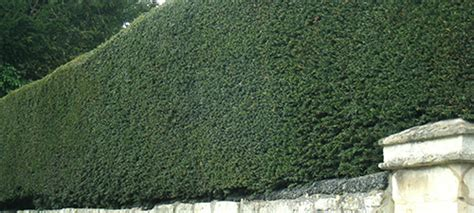 Artificial Topiary Trees Cheap - english yew hedge taxus baccata buy hedges direct uk