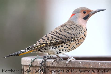 best 28 yellow shafted flicker call looking for food