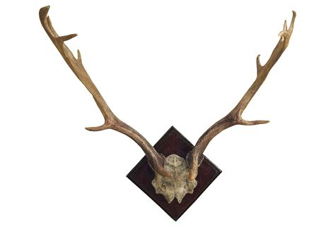 Deer Antler Wall Decor by Fallow Deer Antler Wall Decor From One