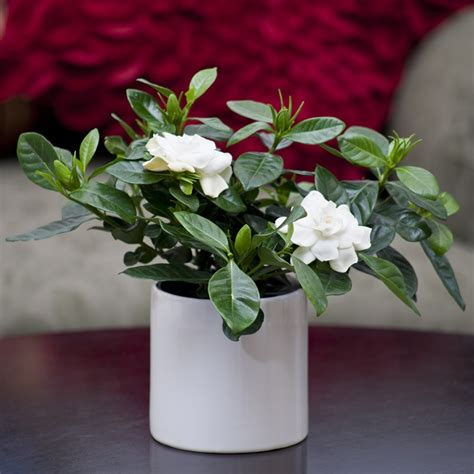 gardenia plant  gloss white container flowering plants