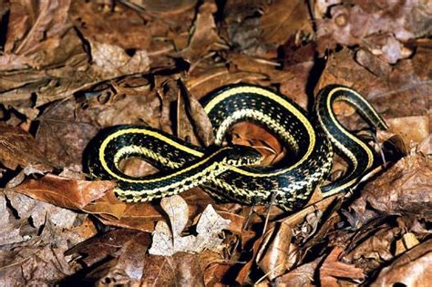 Garter Snake Deck Snakes Of Wi Images At Of Wisconsin