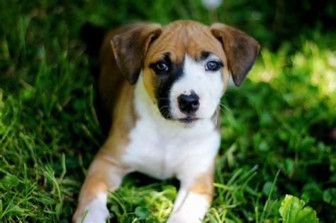 cheris preferred puppies 5 week boxer puppy puppies puppy