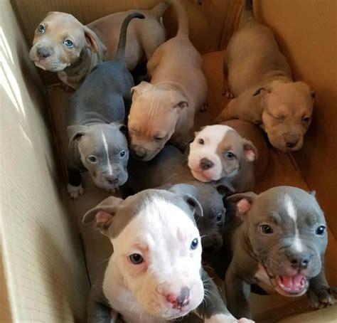 cutest pitbull puppies best 25 blue pitbull ideas on