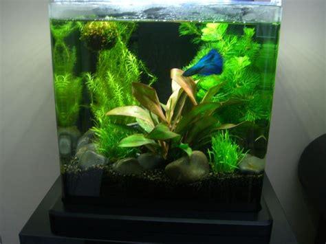 Small Aquarium Aquascape by 54 Best Betta Aquariums Images On Aquatic Plants Beautiful Fish And Botany