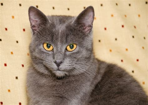 Top 5 grey cat breeds   Yummypets