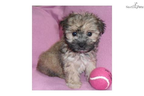 baby yorkie poos yorkie poo puppies baby yorkiepoo breeds picture