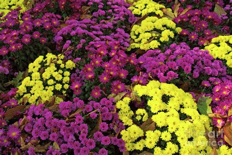 colorful flowers blooming during autumn in the tuileries garden by sami sarkis