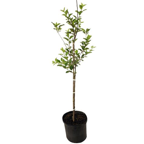 golden delicious apple tree appgol05g the home depot