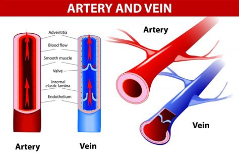 what color are arteries why is blood taken from veins and not arteries 187 science abc