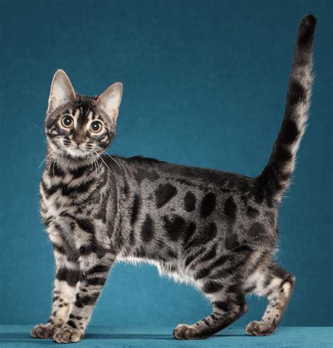 Anakan Kucing harga kucing bengal anakan hargakucing