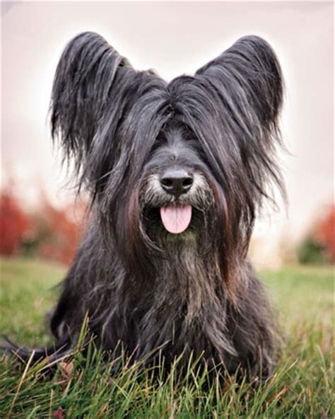 how to cut a skye terriers hair how to cut a skye terriers hair terrific terriers modern